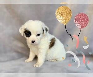 Maltese-Unknown Mix Puppy for sale in SAN FRANCISCO, CA, USA