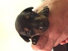 Doberman Pinscher Puppy For Sale in SAFETY HARBOR, FL,