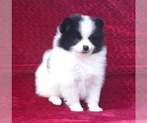 Pomeranian Puppy for Sale in PALM BCH GDNS, Florida USA
