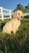 Labradoodle Puppy For Sale in CASPER, WY, USA