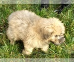 Small Photo #5 Bouvier Des Flandres Puppy For Sale in AMBOY, WA, USA