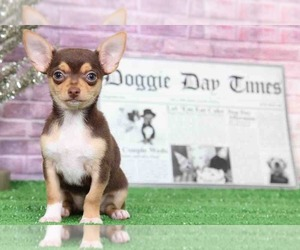 Chihuahua Puppy for sale in BEL AIR, MD, USA
