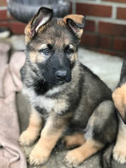 German Shepherd Dog Puppy For Sale in PENSACOLA, FL, USA