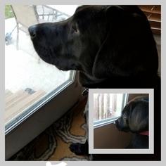 Labrador Retriever Puppy for sale in SAINT CHARLES, MO, USA