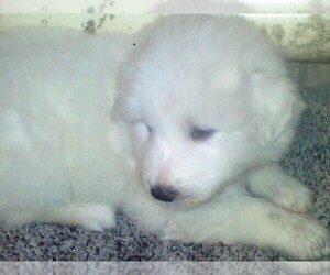 Great Pyrenees Puppy for sale in AIKEN, SC, USA