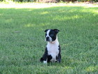 Boston Terrier Puppy For Sale in PLYMOUTH, OH, USA