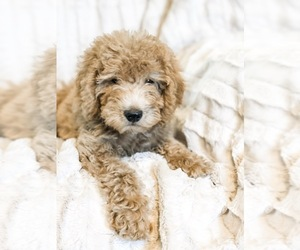 Miniature Labradoodle Puppy for sale in EAST EARL, PA, USA