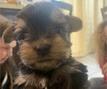 Small #18 Yorkshire Terrier