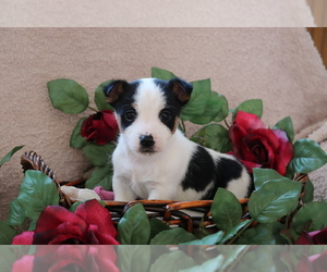 Jack Russell Terrier Dog for Adoption in SHILOH, Ohio USA