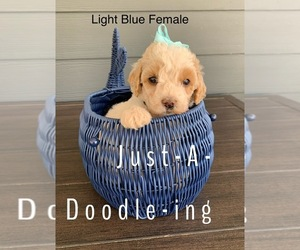 Goldendoodle Puppy for sale in RUSSELLVILLE, KY, USA