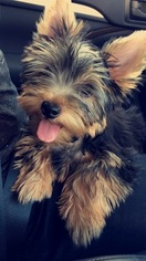 Yorkshire Terrier Puppy For Sale in TUSTIN, CA