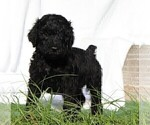Puppy 8 Poodle (Standard)