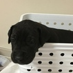 Great Dane Puppy For Sale in HAMPTONVILLE, NC, USA