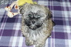 Havamalt Puppy For Sale in TUCSON, AZ