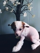 Chinese Crested hairy hairless female