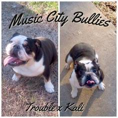 Bulldog Puppy for sale in MBORO, TN, USA