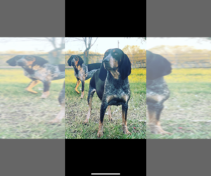Mother of the Bluetick Coonhound puppies born on 10/07/2020