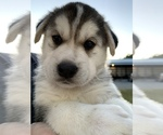 Puppy 6 German Shepherd Dog-Siberian Husky Mix