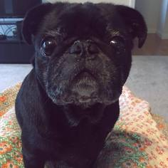 Pug Dog For Adoption in KNOXVILLE, TN, USA