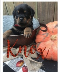 Rottweiler Puppy For Sale in IRMO, SC, USA