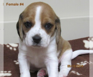 Beagle Puppy for Sale in MORRILL, Kansas USA