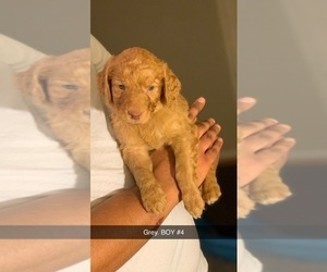 Goldendoodle Puppy for sale in MEM, TN, USA