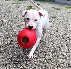 Robyn - American Pit Bull Terrier / Mixed Dog For Adoption
