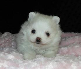 Pomeranian Puppy For Sale in GREENVILLE, GA