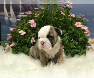 English Bulldog Puppy for sale in OOLOGAH, OK, USA