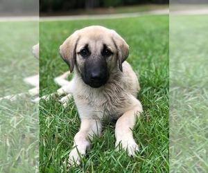 Anatolian Shepherd Puppy for sale in ELLERSLIE, GA, USA