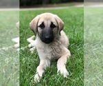 Anatolian Shepherd Turkish Kangal Cross