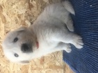 Anatolian Shepherd-Great Pyrenees Mix Puppy For Sale in ELIZABETH, CO, USA