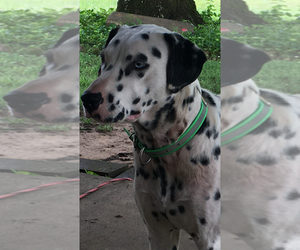 Dalmatian Puppy for Sale in N LITTLE ROCK, Arkansas USA