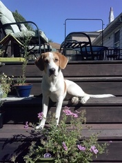 Treeing Walker Coonhound Dogs for adoption in NORTH BERGEN, NJ, USA