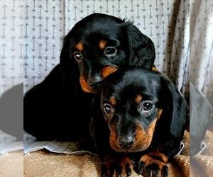 Dachshund Puppy for sale in LAKE PANAMOKA, NY, USA