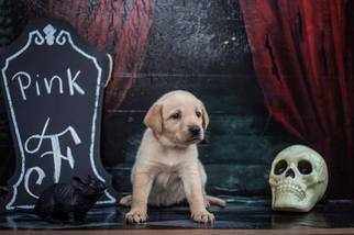 Labrador Retriever Puppy For Sale in MAYSVILLE, GA, USA
