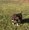 German Shorthaired Pointer-Vizsla Mix Puppy For Sale in AMERICAN FORK, UT