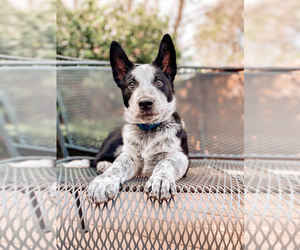 Australian Cattle Dog Puppy for sale in HGHLNDS RANCH, CO, USA