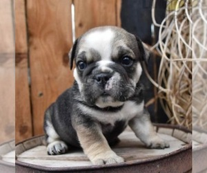 English Bulldog Puppy for sale in DUNDEE, NY, USA