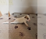 Puppy 3 Bull Terrier