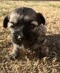Havanese Puppy For Sale in AUBREY, TX