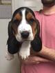 Basset Hound Puppy For Sale in HARKER HEIGHTS, TX, USA