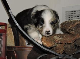 Border Collie Puppy For Sale in STUART, FL, USA