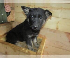 German Shepherd Dog Puppy for sale in LANSING, MI, USA