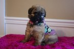 Bouvier Des Flandres Puppy For Sale in BROOK PARK, PA, USA