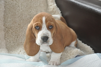 Basset Hound Puppy For Sale near 84060, Deer Valley, UT, USA