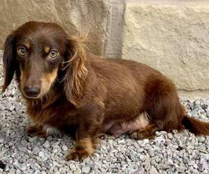 Mother of the Dachshund puppies born on 04/30/2021