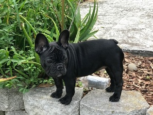 French Bulldog Puppy For Sale in PALM HARBOR, FL, USA