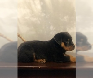 Rottweiler Puppy for Sale in ANTIOCH, California USA