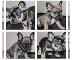 Small Photo #1 French Bulldog Puppy For Sale in BAKERSFIELD, CA, USA